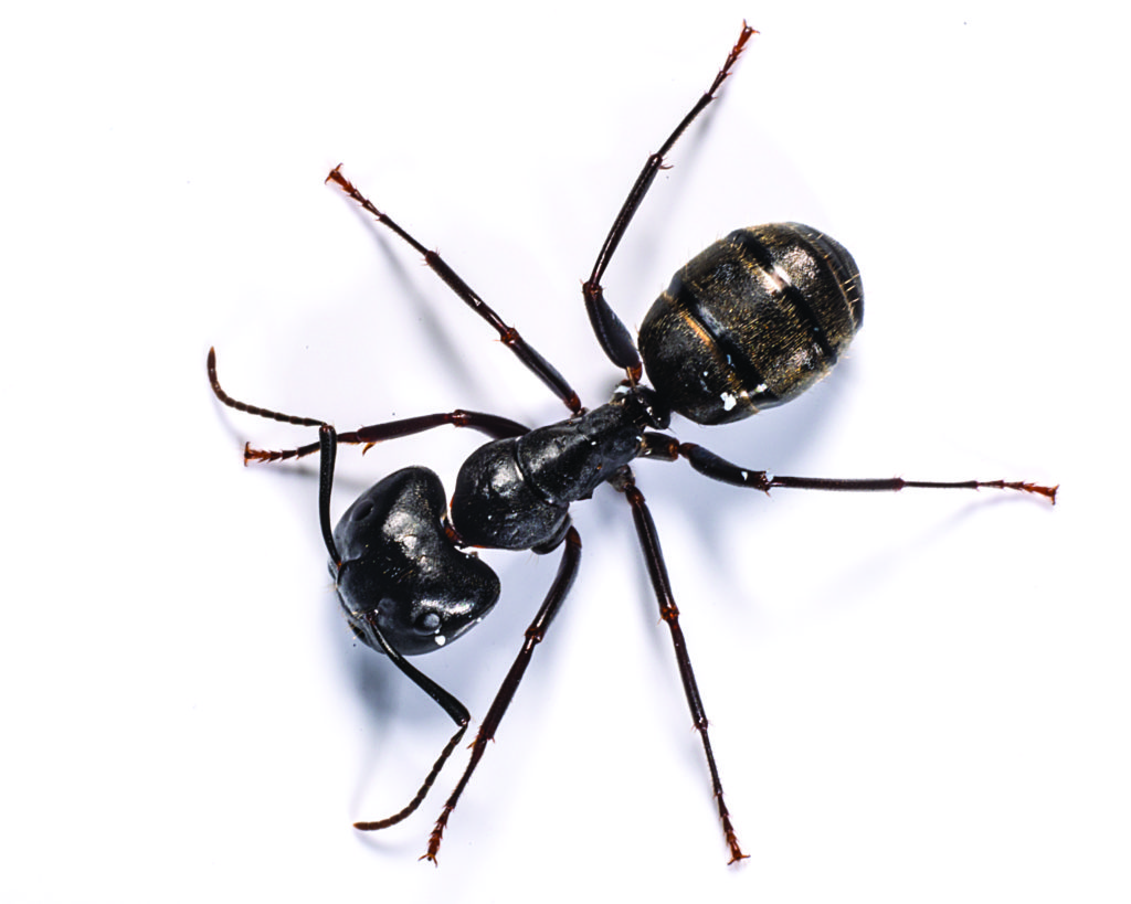 The number 1 ant exterminator and pest control service in Kansas City, MO