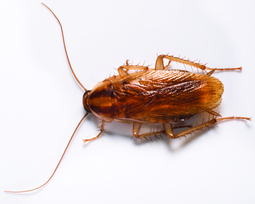 Call Gunter Pest & Lawn to be your new cockroach exterminators in Kansas City, Missouri