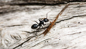 A black ant crawling on a piece of wood