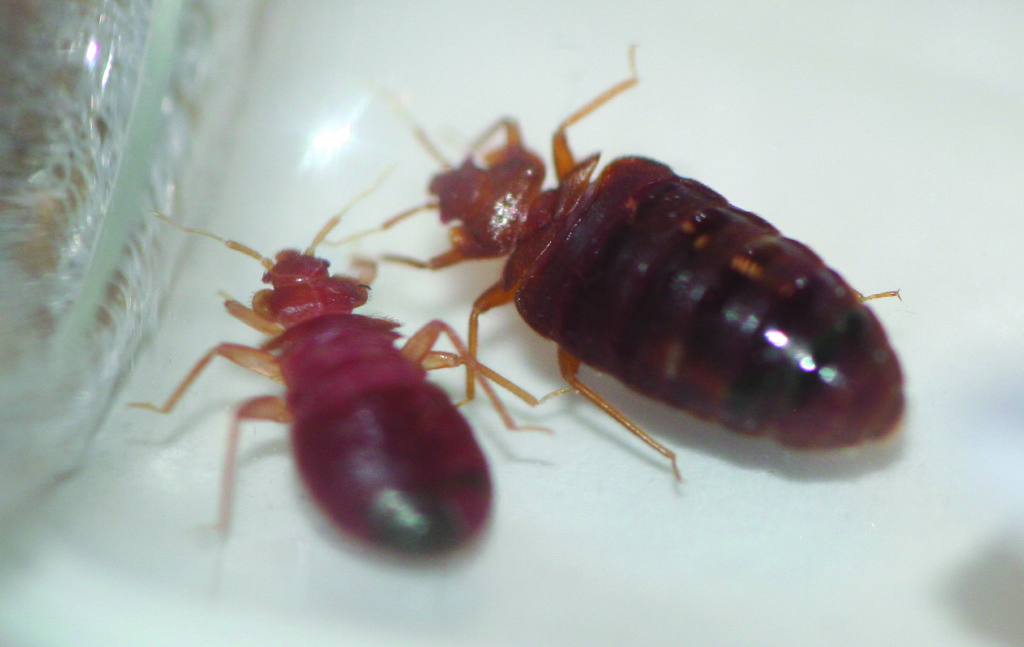 Bed Bug Exterminators Gunter Pest & Lawn should be your first call in Kansas City to get rid of bed bugs.