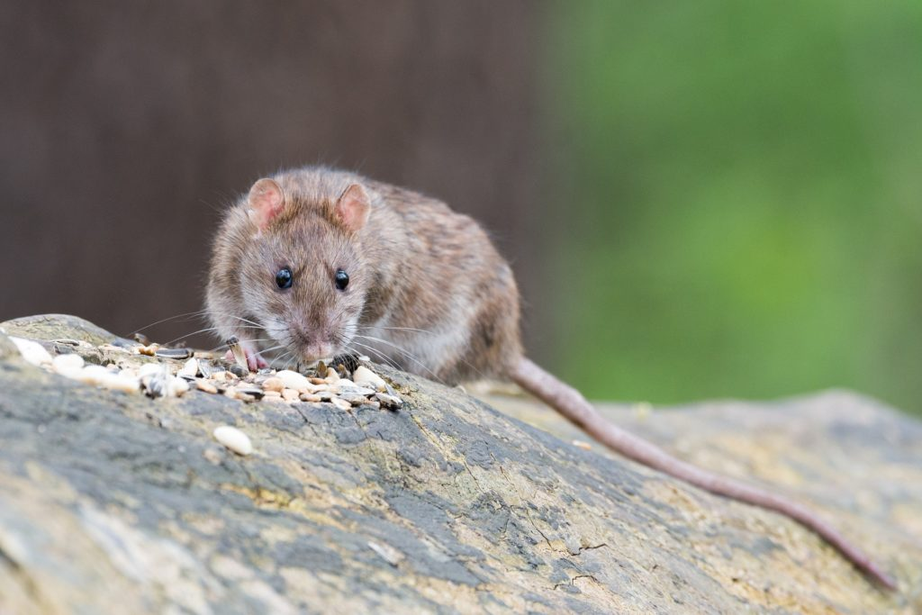 Gunter Pest Control is the top rodent exterminators in Kansas City