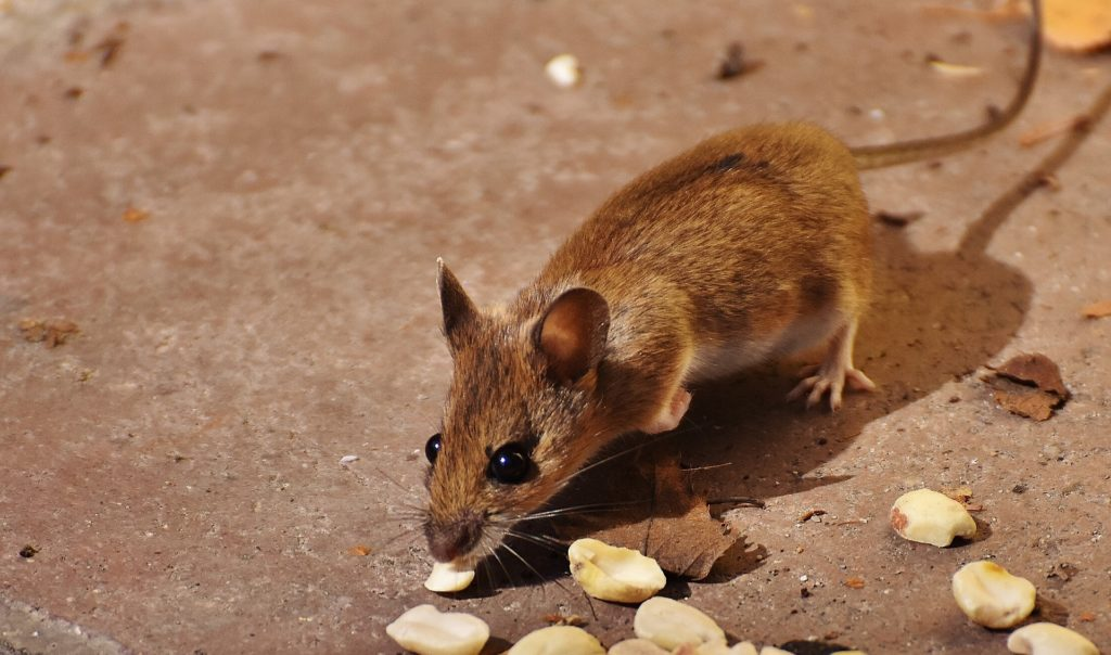 Gunter Pest & Lawn have been expert rodent exterminators for over 68 years.