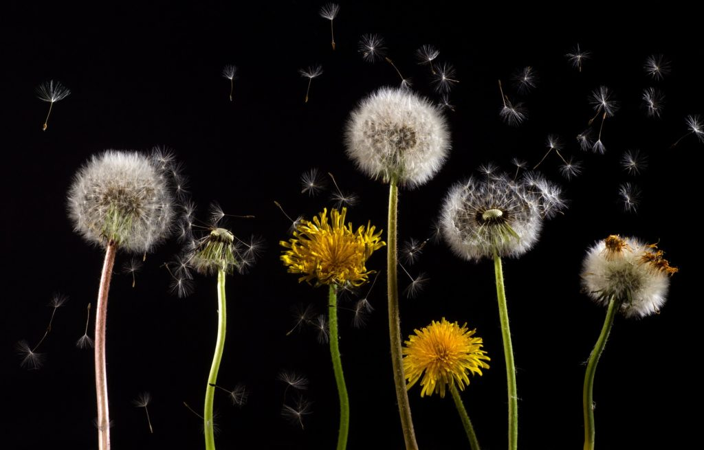 The arrival of Spring means grass will start to turn green and little yellow flowers aka weeds known as dandelions will begin appearing in lawns.  Call Gunter Pest & Lawn for lawn treatments.