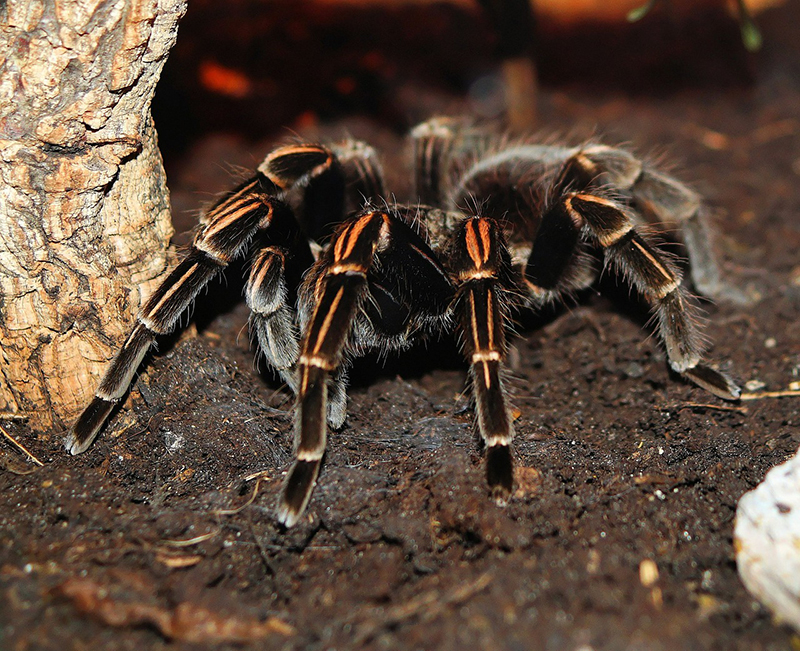 Tarantulas can be dangerous bugs, because of their size and their bites.