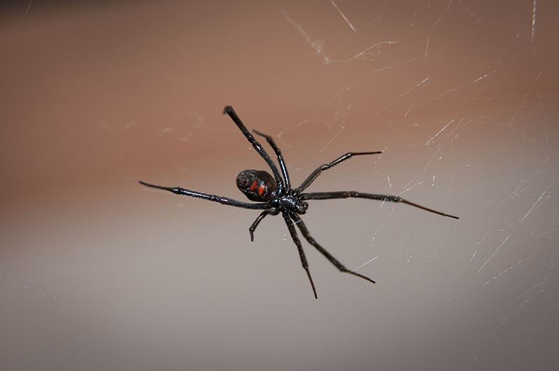 The Black Widow spider is one of the most dangerous bugs you can encounter and if you do, please call an exterminator.