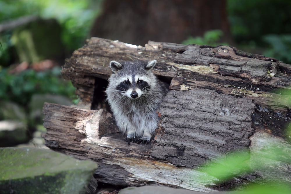 Raccoons and other animals will try to enter your house during the winter