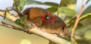Tick on an outside rodent. Learn how to get rid of fleas and ticks.