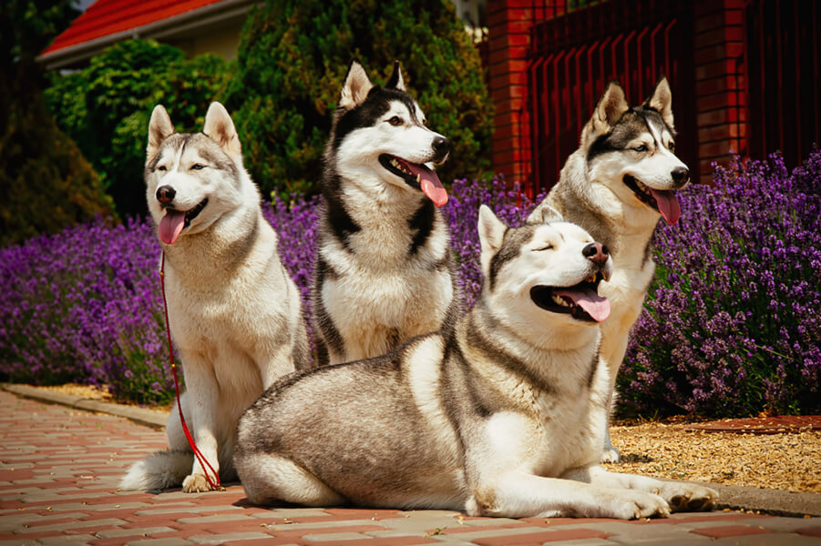 Choosing the best flea treatments is important for your husky.