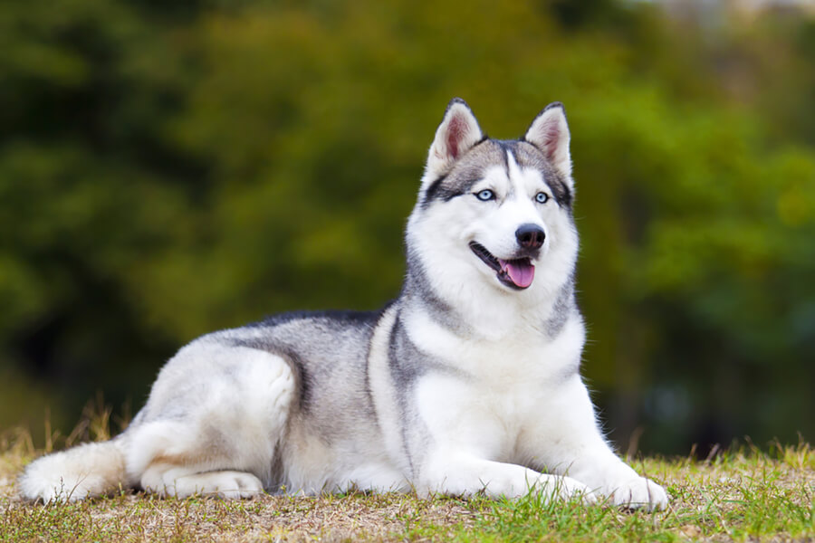 How to get rid of fleas from your Siberian husky