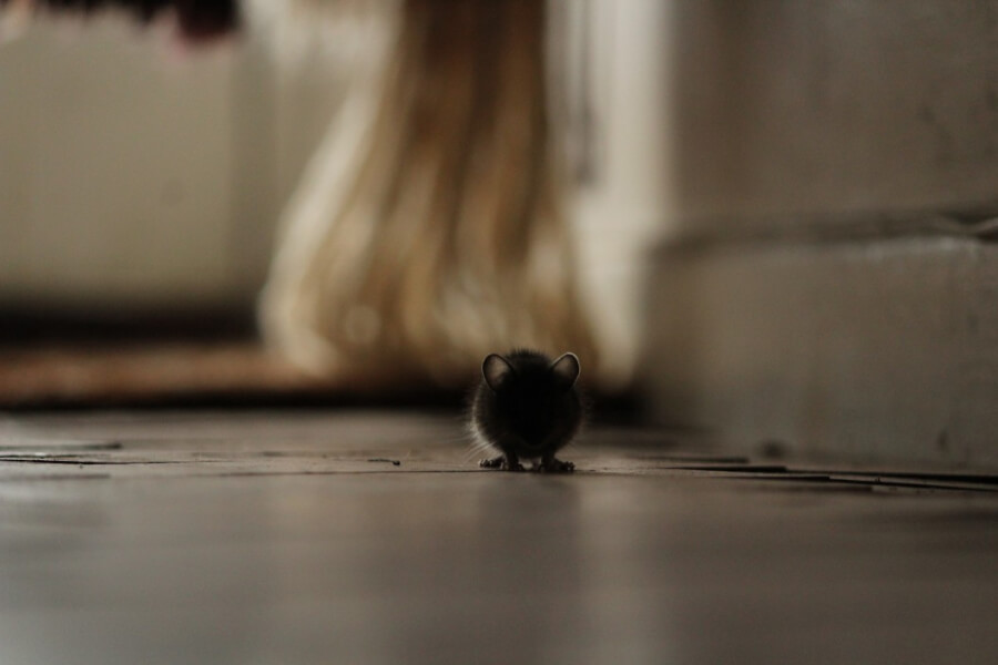 Get rid of the rats' mess in your home
